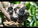 Маленькие черно-белые лемуры-тройняшки