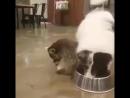Енот без зазрения совести тырит еду у собаки