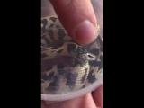 любитель змеек