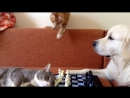 Cats and dogs playing chess (Кошки с собакой играют в шахматы. Часть 2)