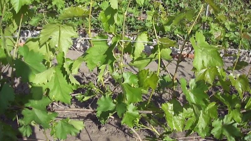 Как заполнить шпалеры, чтобы не было пробелов на винограднике