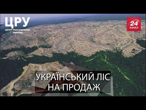 ЦРУ. Вкрадений ліс заради кого і чого нещадно рубають Карпатські ліси