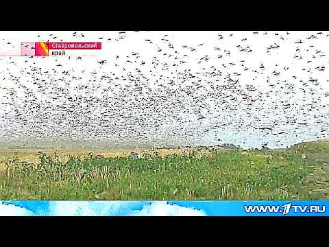 На Ставрополье - самое масштабное за последние 30 лет нашествие саранчи.