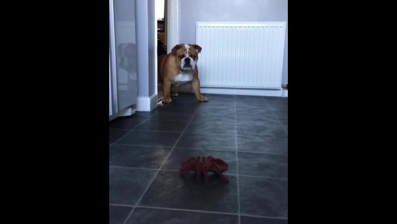 Собака и паук