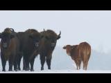 Корова прибилась к зубрам в Беловежской пуще