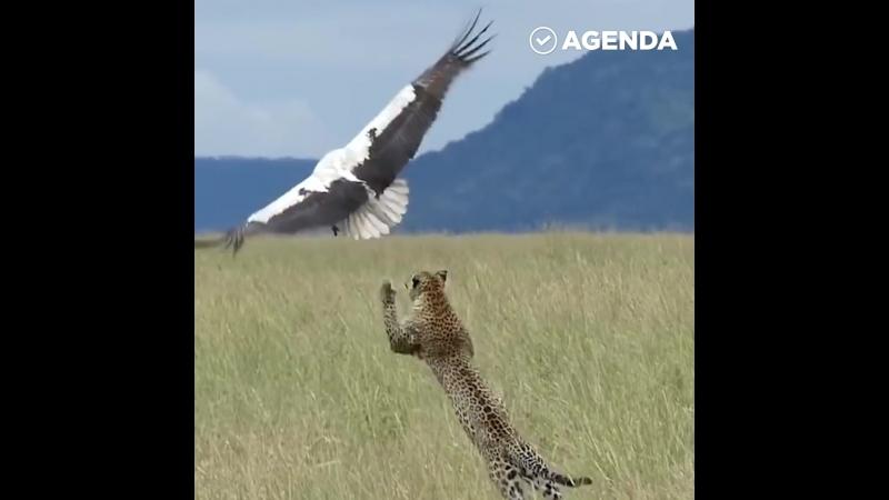 Аист спасается из лап голодного леопарда