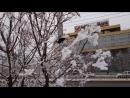 Чёрный дрозд. Зима 2018