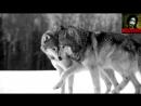 Легенда о волке и волчице