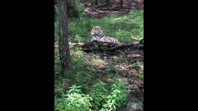 Отдых тигрицы Видео Ксении