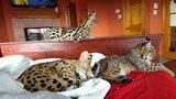 Пробуждение в логове диких кошек