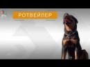 Ротвейлер - Все о породе собаки _ Собака породы - Ротвейлер