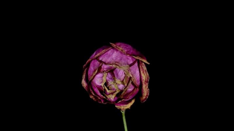 Эссенции Венеры на примере увядания розы