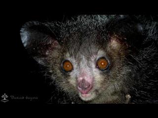 Мадагаскарская руконожка Ай ай_Madagascar, the Aye Aye reconozca