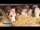 Коровы-Герефорды-с/х-Пенза-РОССИЯ