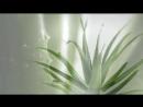 Алоэ Вера целебная сила растения