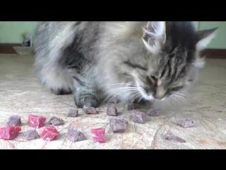 Сырая или варенная говядина - что предпочтет есть кот