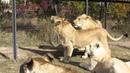 Прогулка со львами экскурсия в сафари парке Тайган октябрь 2015 г