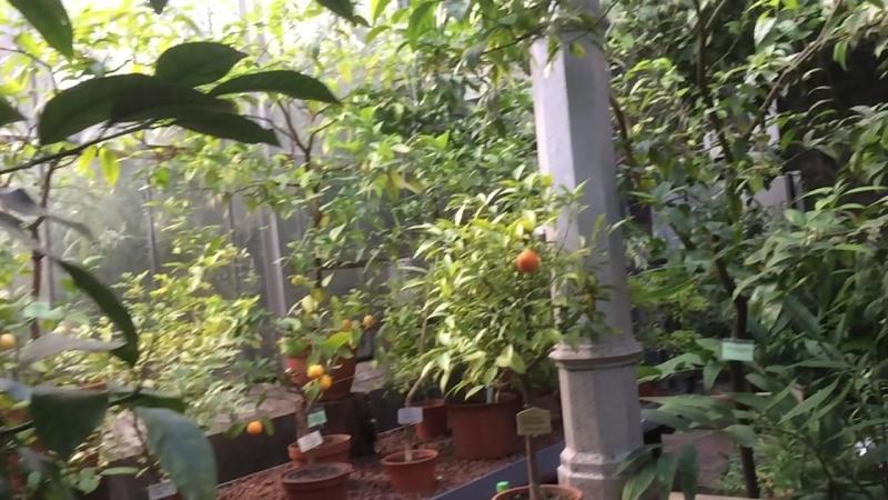Померанец в Ботаническом саду.