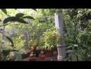 Померанец в Ботаническом саду