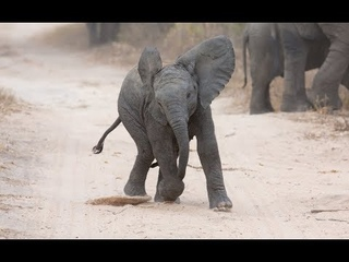 Cutest Baby Elephant Video, Baby Elephant Charging, Playing