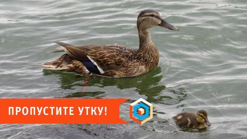 Пропустите утку! Простые правила, которые спасают жизнь птицам