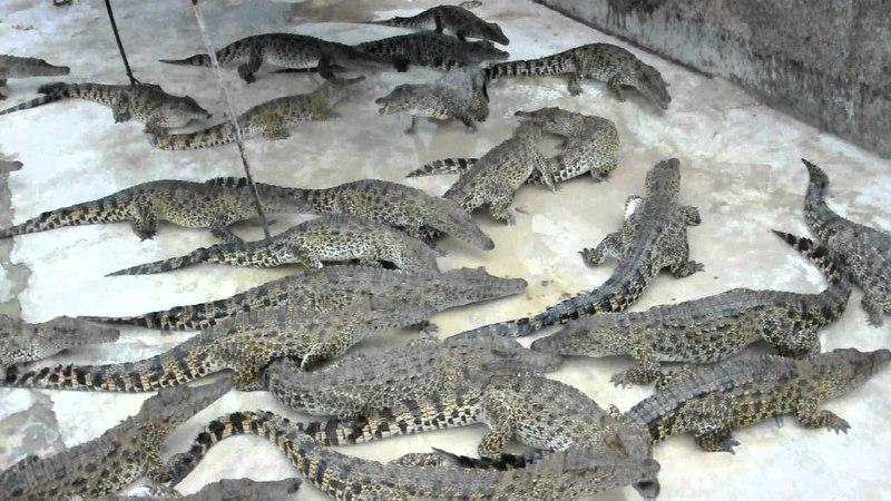 Крокодилы обедают, точней раздирают краба