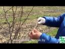 Как добиться плодоношения груши на 3 4 год любого сорта