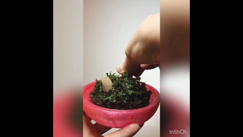 Мини-флорариум с маршанцией