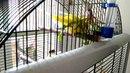 Купание жёлтого попугая