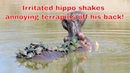Hippo in Kruger National Park shaking off annoying terrapin passengers - South Africa