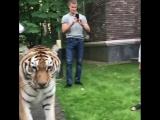 Два тигра встретились