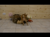 Star Karuna Tellur Jungle Child - Свободен к продаже! (а)