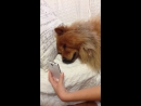 Chow Chow Misses Mommy