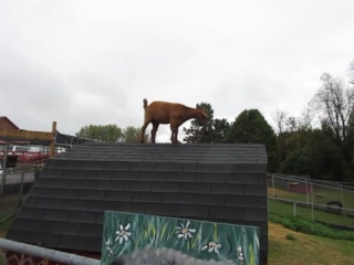 Goat stuck on roof