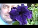 Цветёт фиолетовый цветок петуния