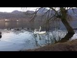 Лебединый танец на нашем озере Фимон