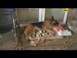 Немецкая овчарка, которая ни разу не имела собственных щенков, приняла брошенных малышей