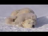 polar bear.mp4