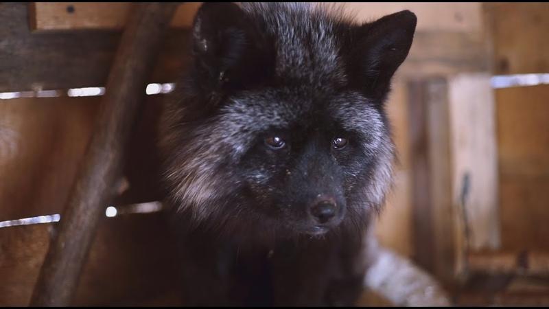 Карликовая лиса / dwarf fox 🐺