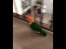 папуг скачет