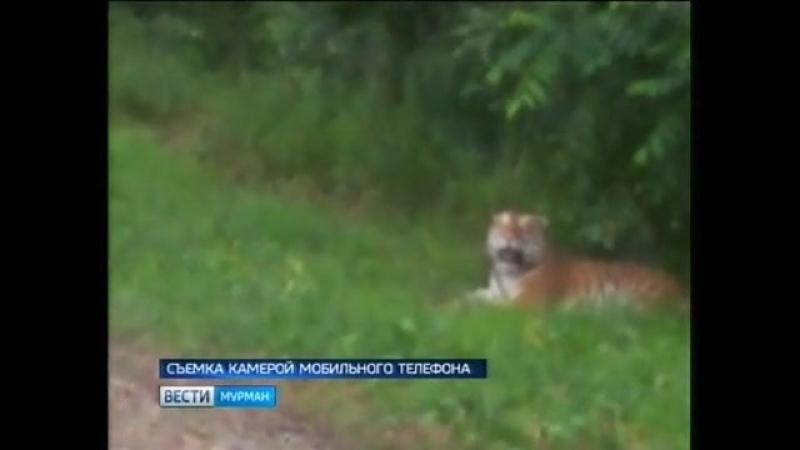 Тигр В Мурманской области