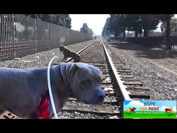 The sheriff had to stop the train so we can save a badly injured PitBull.