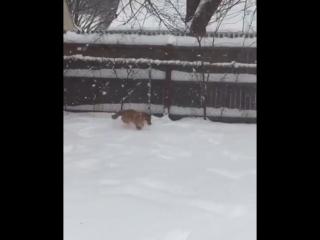 Сиба-Ину и снег