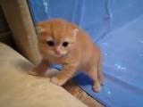 Котёнок шипит (хорошее настроение, животное, милое видео, котейко, кот, кошка, семья, ребенок, страх, няшный, кавайный домашнее)