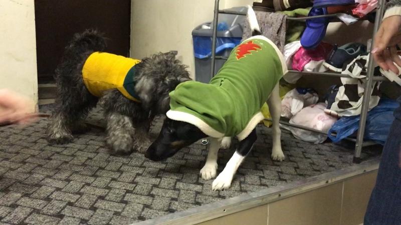Собака-застывака) Удивительно, но как только Мишанечке надевают капюшон, она перестаёт двигаться