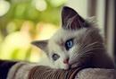 Коты очень скучают, когда их оставляют одних дома, они сразу же ложатся спать…