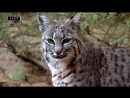 а дикая маленькая кошка с убийственным комплексом Напо eto ne karmannaya koshka poroda koshek zabota scscscrp