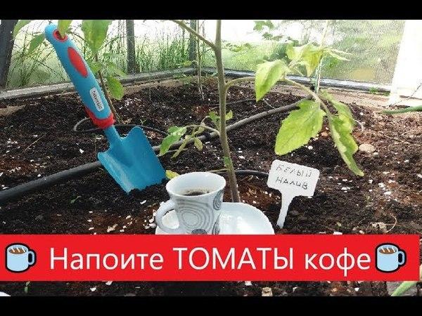 🍅Напоите томаты КОФЕ☕ Бесплатное удобрение для ТОМАТОВ помидор
