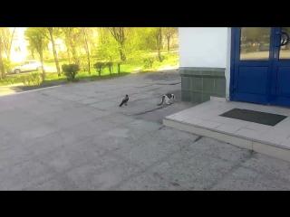 Ворона и кот