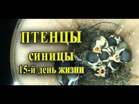 Птенцы синицы в скворечнике 15-й день жизни / Таймлапс наблюдение за птицами